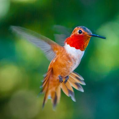 Rufous Hummingbird - Western Colorado