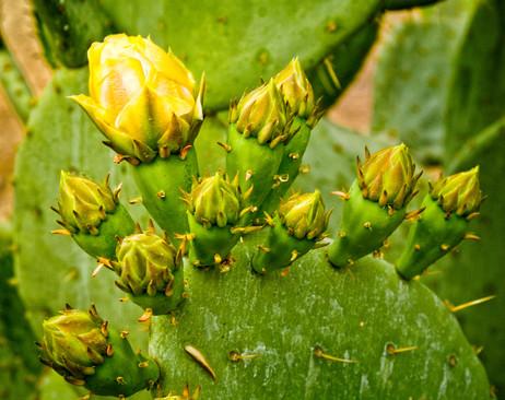 Cactus Blossoms - Scottsdale