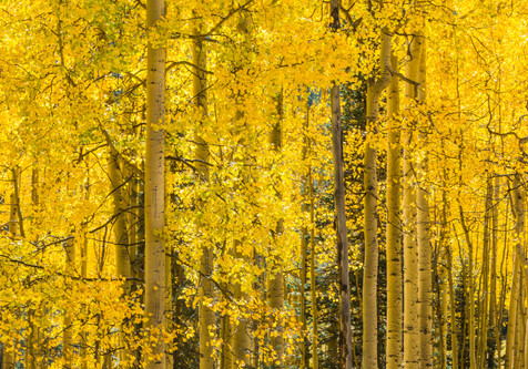 Aspen Grove in Full Splendor - Vail, Colorado
