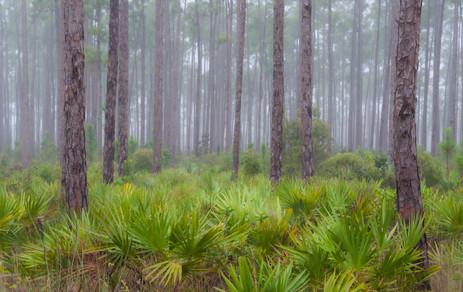 Pinelands in Fog - Eveglades National Park, Florida
