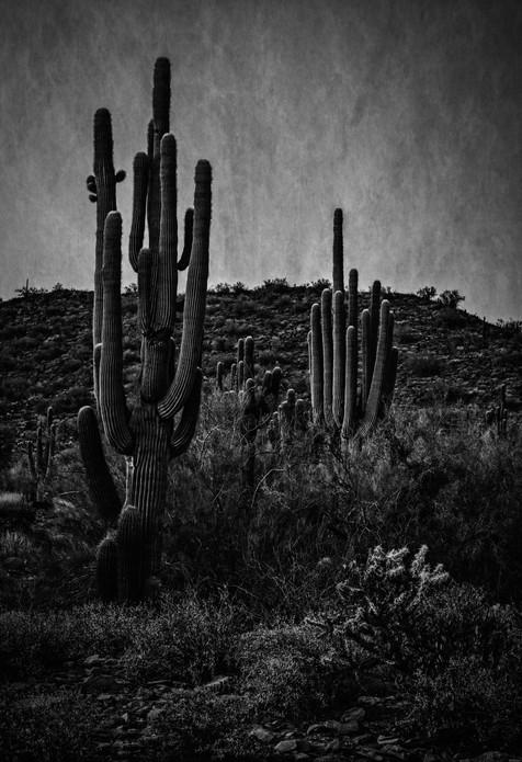 Saguaro Pre-dawn - Lost Dog Wash