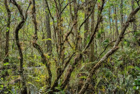 A Confusion of Life - Big Cypress National Preserve, Florida