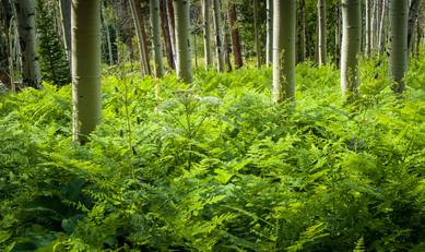 Ferns and Aspen - East Lake Creek, Colorado