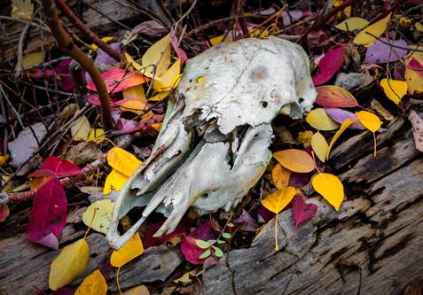 Coyote Skull - Colorado