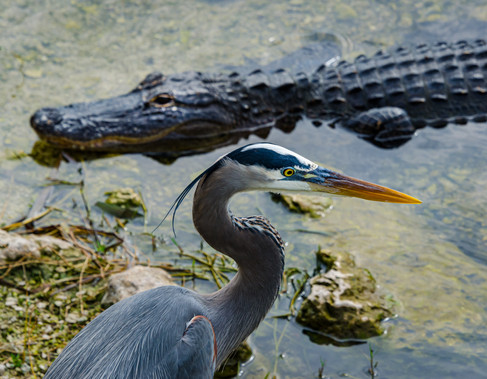 Keeping a Wary Eye Out - Big Cypress National Preserve, Florida