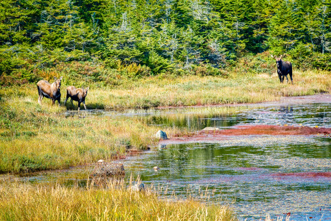 The Moose Family - Trepassey, Newfoundland