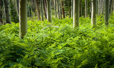 Ferns and Aspen - East Lake Creek, Colorado
