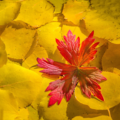 Wild Geranium and Aspen Leaves in Fall Splendor - Grand Mesa National Forest, Colorado