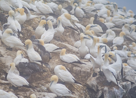 Gannet Colony - Cape St. Mary's Ecological Preserve, Newfoundland