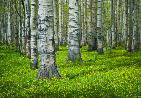 Spring Among Aspens - Grand Mesa National Forest, Colorado