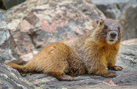 Marmot / Whistle Pig - Holy Cross Wilderness - Vail, Colorado