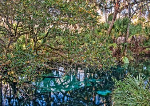 Gator and Spring - Juniper Springs, Florida