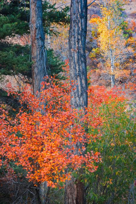 Hawthorne and Cottonwoods - Colorado