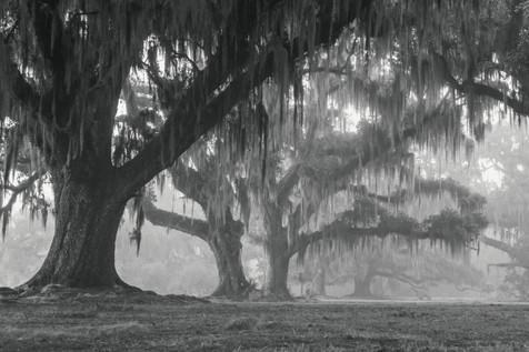 Oaks and Fog, Fontainbleu State Park, Louisiana