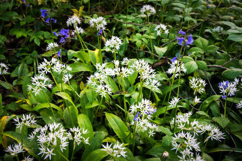Spring Wildflowers - Durrow Woods, County Kilkenny