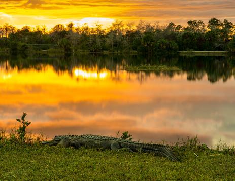 Allegator on Monument Lake - Big Cypress National Preserve, Florida