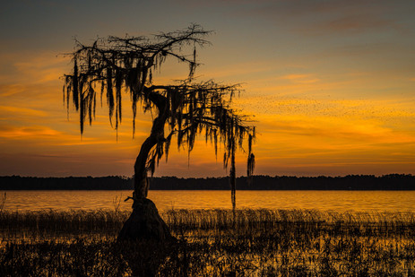 Bald Cypress and Bird Swarm - Ocean Pond, Florida