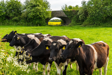 Friendly Cows - Ballyragget, County Kilkenny