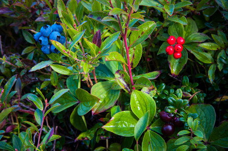 Blueberries, Bunchberries and Partridgeberries Ripe for the Picking - Cape St. Francis, Newfoundland