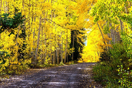 Brilliant yellow autumn aspen trees line a gravel road in Grand Mesa National Forest - travel photography - Colorado.jpg