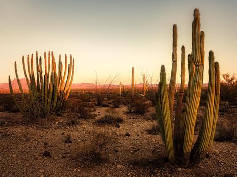 Sunset with Saquaro and Organ Pipe Cactus