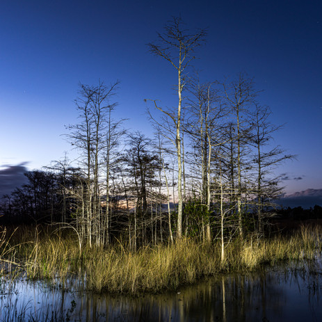 Bald Cypress at Dusk - Big Cypress National Preserve, Florida