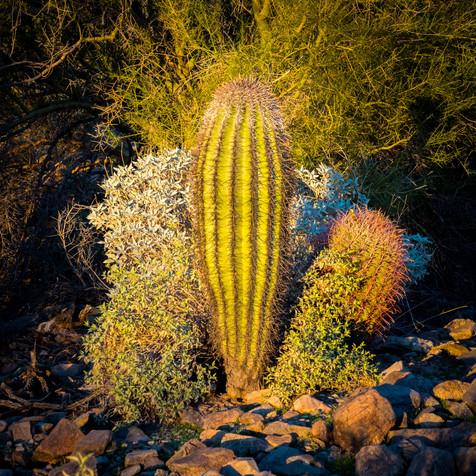 Barrel Cactus - Lost Dog Wash