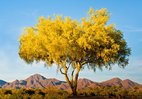 Palo Verdo at Sunset - Scottsdale