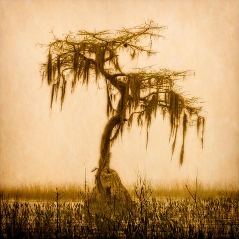 Lone Cypress in Fog - Ocean Pond, Florida