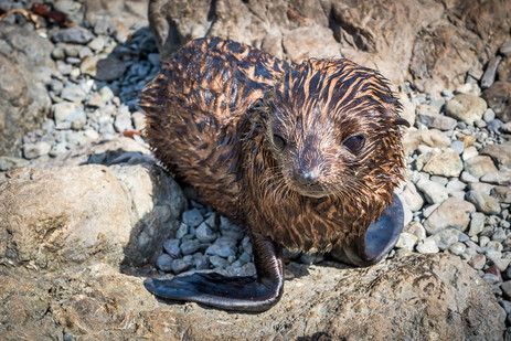Fur Seal Pup - Cape Pallister