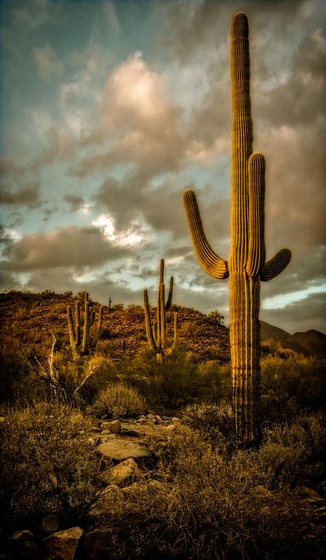 Saguaro at Dusk - Gateway Trail