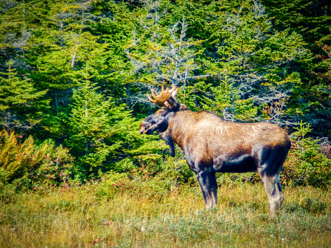 A Magnificent Specimen of a Wild Bull Mouse - Trepassey, Newfoundland