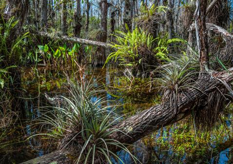 Inside a Cypress Dome - Big Cypress National Preserve, Florida