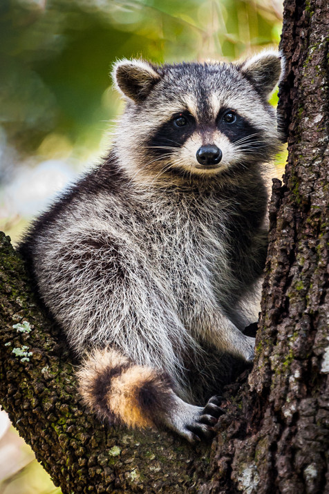 Raccoon - Juniper Springs, Florida