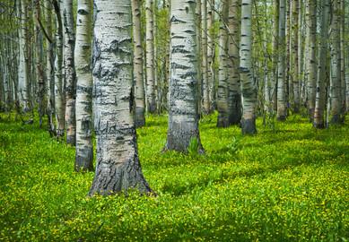 Spring Among Aspens - Grand Mesa National Forest, Colorado