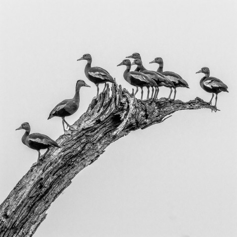 Getting Your Ducks in a Row - Brazos Bend State Park, Texas