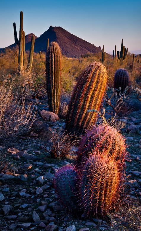 Barrel Cactus at Dusk - Lost Dog Wash