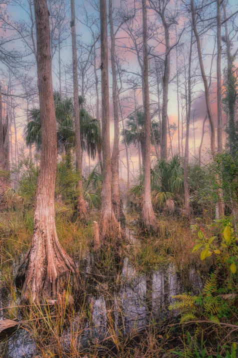 The Softness of an Early Morning in the Swamp - Big Cypress National Preserve, Florida