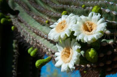 Saquaro Blossoms - Gateway Trail