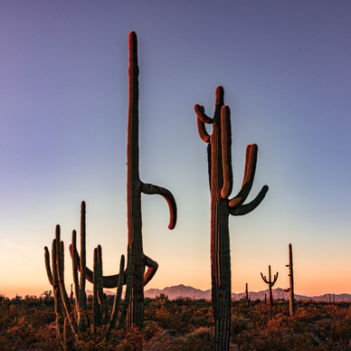 Sunrise in Organ Pipe National Monument