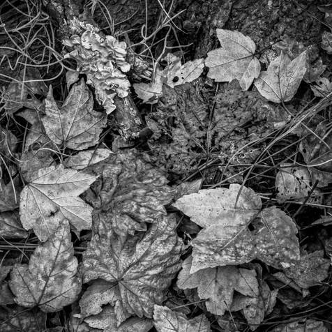 Fallen Leaves - Ocean Pond, Florida