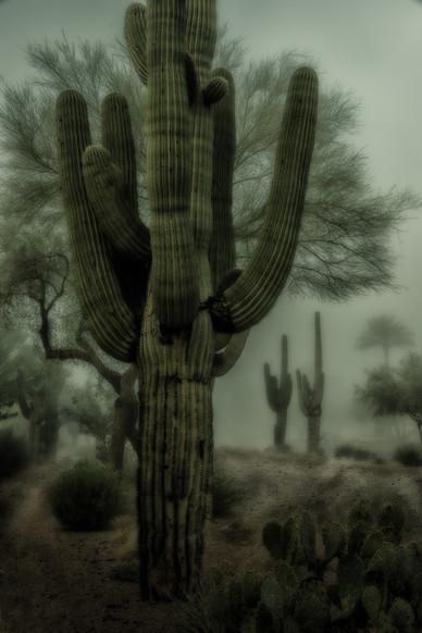 Saguaros in the Fog Scottsdale, Arizona