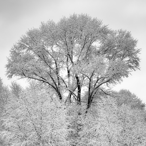 Cottonwood with New Fallen Snow - Edwards, Colorado