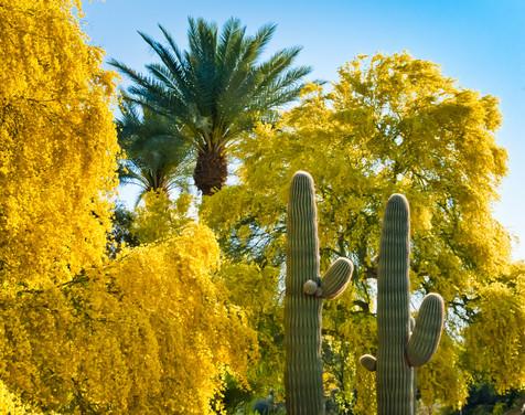 Palo Verde in Bloom - Scottsdale