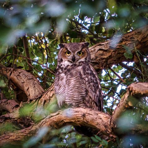 Great Horned Owl - Scottsdale