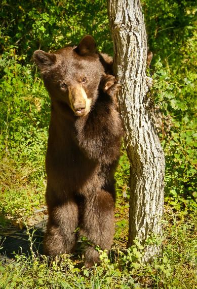 Rupert Strikes A Pose - Black Bear - Hummingbird Knob, Colorado