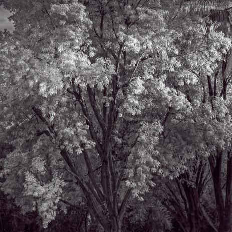 Tree at Dusk - Scottsdale, Arizona