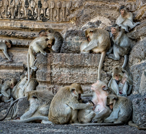 A Chaos of Monkeys - Lopburi