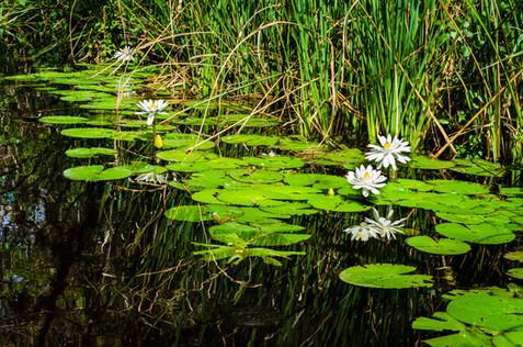 Water Lilies - Big Cypress National Preserve, Florida