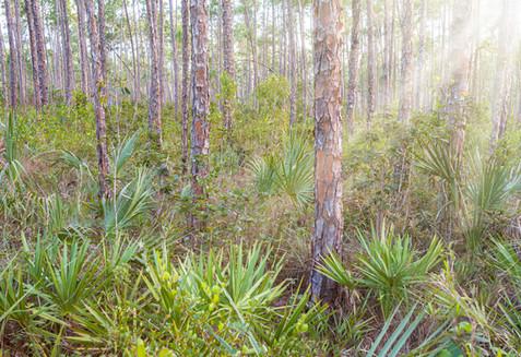 Sun Through the Pinelands - Everglades National Park, Florida